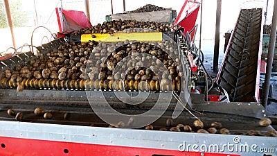 speciaal gemechaniseerd proces van Aardappel het sorteren bij landbouwbedrijf de aardappels worden leeggemaakt op transportband,  stock videobeelden