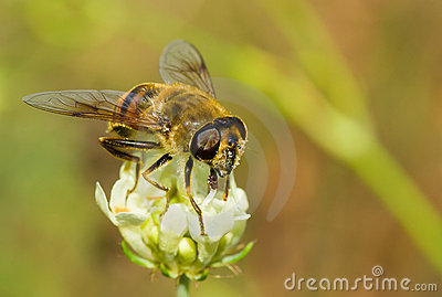 Species of fly similar to bee on a flower