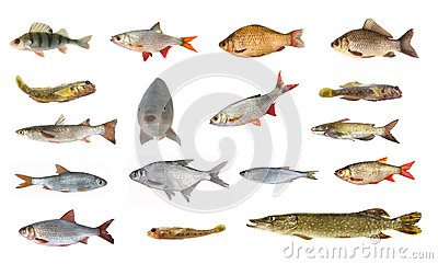 Species of river fish stock image image 35038441 for White fish types