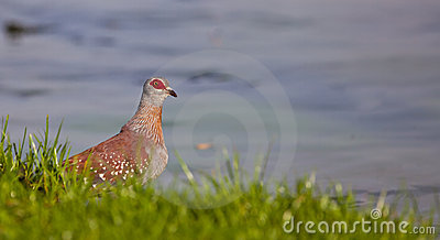 The Speckled Pigeon