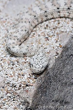 Speckled Rattel Snake