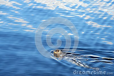 Speckled seal swimming in sea, Prince Rupert, BC
