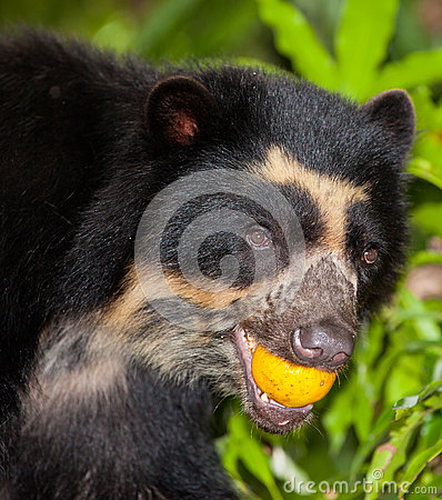 Spectacled Bear with fruit