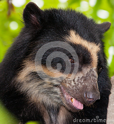 Spectacled Bear s face