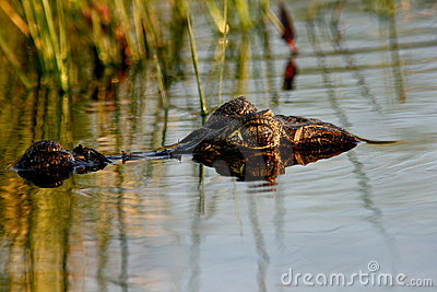 Spectacled Caiman,Argentina