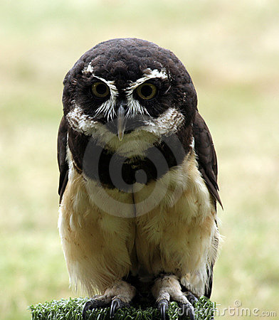 Free Spectacled Owl Royalty Free Stock Photos - 1143418