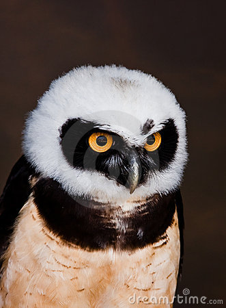 Free Spectacled Owl Stock Image - 20439661