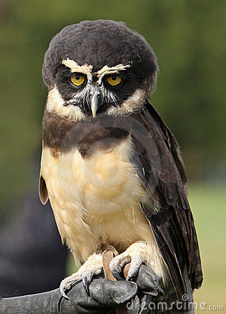 Free Spectacled Owl Royalty Free Stock Images - 21337099