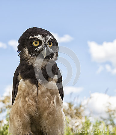 Free Spectacled Owl Royalty Free Stock Photo - 38848045