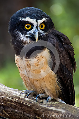 Free Spectacled Owl Stock Photography - 48476782