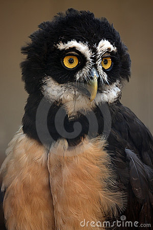 Free Spectacled Owl Royalty Free Stock Photo - 9521795