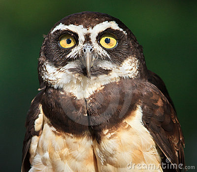 Spectacled Owl, Pulsatrix perspicillata, Close-up