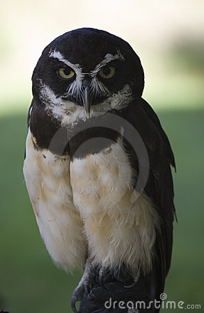 Free Spectacled Owl Raptor Royalty Free Stock Image - 3258496