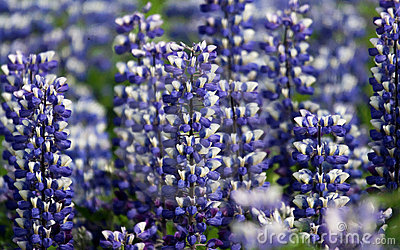 Spectacular Summer Lupines, Iceland