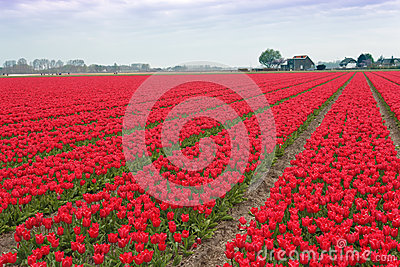 Spectacular White Red Tulips Bulb Field