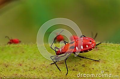 Speisennährstoff des roten Insekts auf essbarem Eibisch.