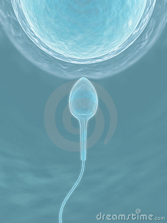 Sperm (The fecundation)