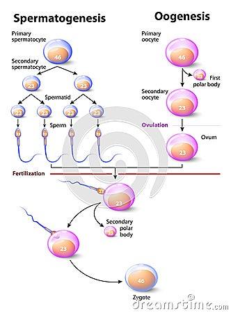 Spermatogenesis And Oogenesis Stock Vector Image 53839558