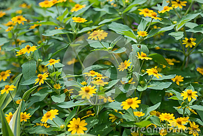 Sphagneticola trilobata or Wedelia flowers garden