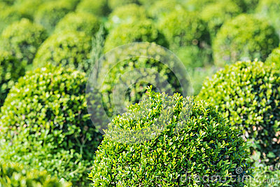 Spherical boxwood bushes close