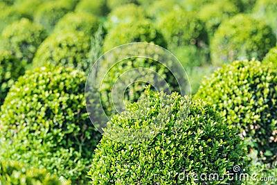 Spherical boxwood bushes close