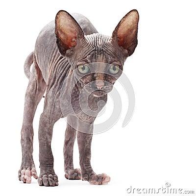 Sphinx bald cat