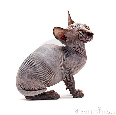 Sphinx bald cats