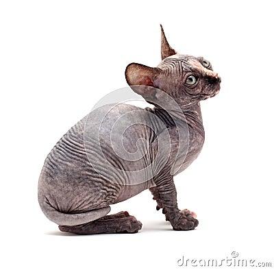 Sphinx bald cats