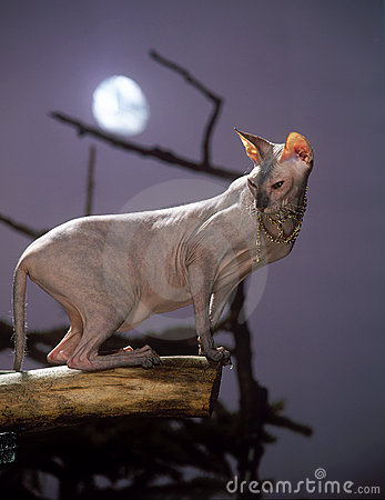 Sphinx cat with a moon