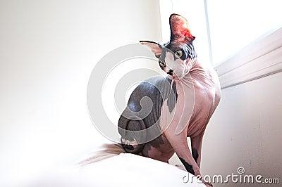Sphinx Cat on Sofa