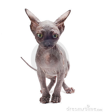 Sphinx cat on white