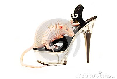 Sphinx rat on a shoe