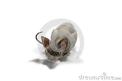 Sphinx, sphynx cat