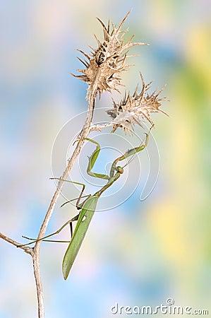 Sphodromantis viridis (male)