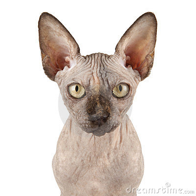 Sphynx кота