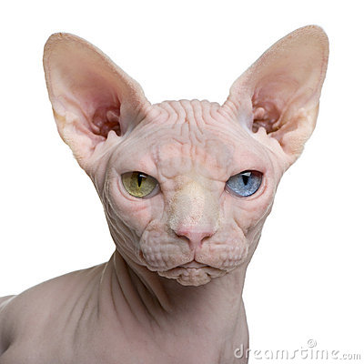 Free Sphynx Cat, 1 Year Old Royalty Free Stock Image - 13816786