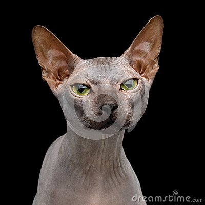Free Sphynx Cat On Isolated Black Background Royalty Free Stock Photography - 117118407