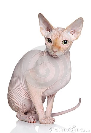 Sphynx hairless cat on a white background
