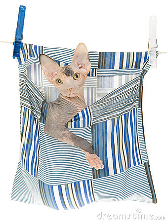 Sphynx kitten in peg bag on white background
