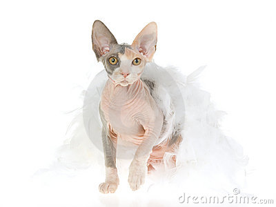 Sphynx kitten wrapped in white feather boa