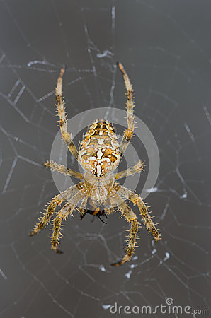 Free Spider Royalty Free Stock Photo - 31920015