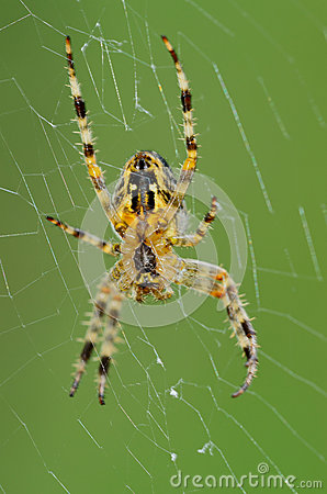 Free Spider Stock Photo - 31921440