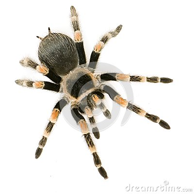 Free Spider Royalty Free Stock Photography - 44326057