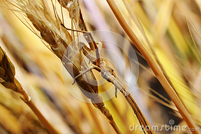 Spider in an ambush on wheat ear