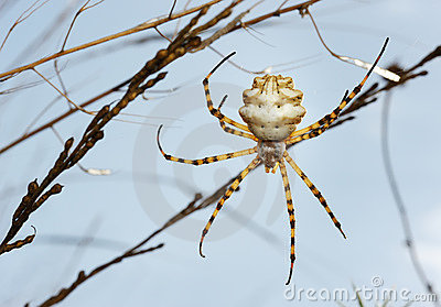 Spider argiope lobed