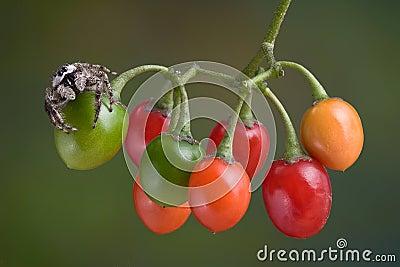Spider on berries