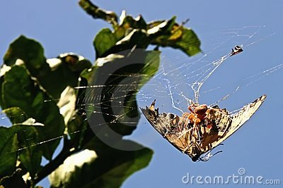 Spider on a Butterfly