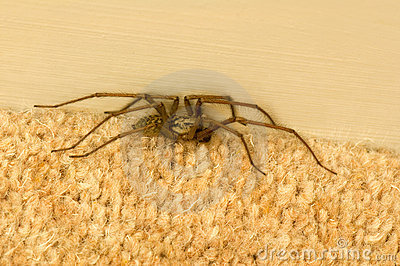 Spider on carpet