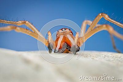 Spider (Cheiracanthium punctorium)