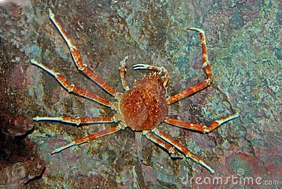 Spider crab inside the aquarium